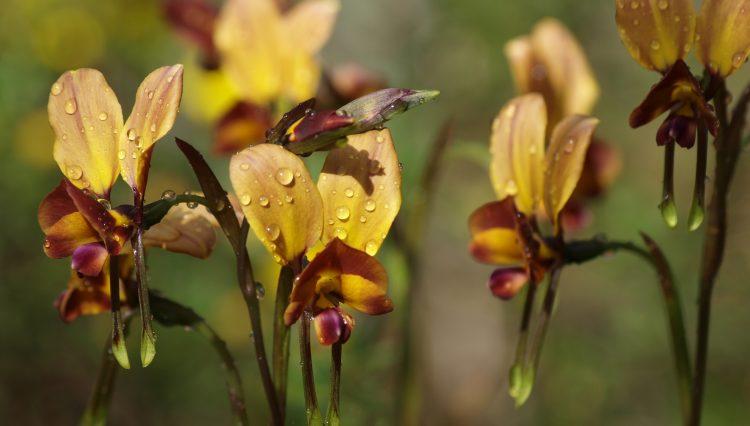 Donkey Orchids, Yallingup